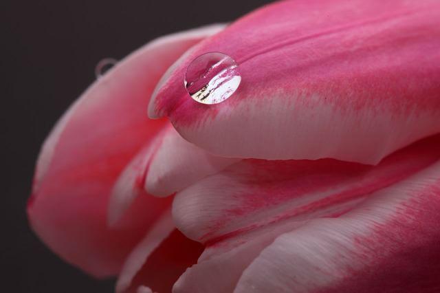 tulip-2080_640